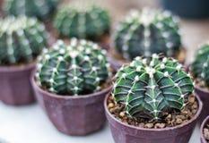 Muchos del cactus sano plantado en potes plásticos, es cactus redondo espinoso imagen de archivo libre de regalías