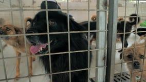 Muchos diversos perros grandes detrás de las cercas Perros en un refugio o un cuarto de ni?os animal Refugio para el concepto de  almacen de video