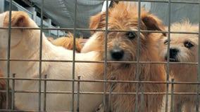 Muchos diversos perros grandes están buscando la atención detrás de las cercas Perros en un refugio o un cuarto de ni?os animal A almacen de video