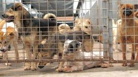 Muchos diversos perros grandes están buscando la atención detrás de las cercas Perros en un refugio o un cuarto de ni?os animal A almacen de metraje de vídeo