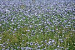Muchos flores de Phacelia en el campo Fotografía de archivo