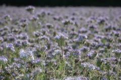 Muchos flores de Phacelia en el campo Imagen de archivo