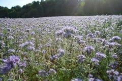 Muchos flores de Phacelia en el campo en la luz trasera Imagen de archivo libre de regalías