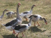 Muchos ganso comen la hierba foto de archivo libre de regalías