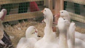 Muchos gansos blancos almacen de video
