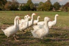 Muchos gansos en un prado imagen de archivo