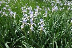 Muchos iris florecientes de la mariposa Fotografía de archivo libre de regalías