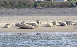 Muchos leones marinos que toman el sol en banco de arena Foto de archivo