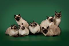 Muchos los mismos gatos están presentando en un fondo verde del estudio Imagen de archivo libre de regalías