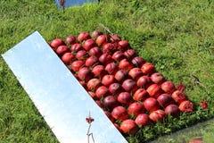Muchos melocotones, fruta roja, melocotones están en las filas aseadas, melocotones mienten en la hierba, abstracción de melocoto Imagen de archivo