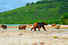 Muchos osos están cazando en salmones salvajes Imagen de archivo