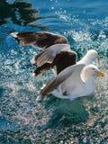 Muchos pájaros de la gaviota que pescan en el mar Foto de archivo libre de regalías