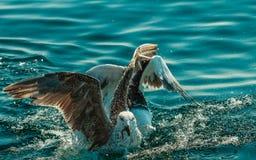 Muchos pájaros de la gaviota que pescan en el mar Imagen de archivo