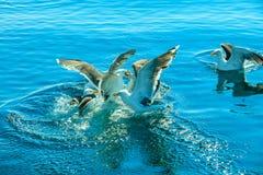 Muchos pájaros de la gaviota que pescan en el mar Fotos de archivo