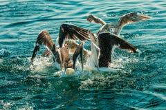 Muchos pájaros de la gaviota que pescan en el mar Fotos de archivo libres de regalías