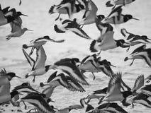 Muchos pájaros de mar de los colectores de ostra en vuelo Imagen de archivo
