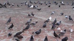 Muchos pájaros en la calle de la ciudad, cantidad que viaja del lapso de tiempo metrajes