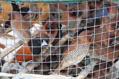 Muchos pájaros prisioneros de la crueldad en poca jaula Fotos de archivo