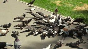 Muchos pájaros que picotean maíz en el verano almacen de metraje de vídeo