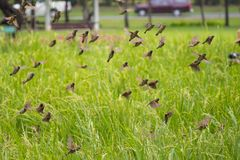 Muchos pájaros que vuelan hacia fuera del susto del escape de la migración de la comida del campo del arroz de la foto del pájaro Imagen de archivo