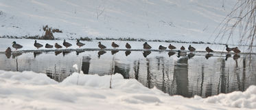 Muchos patos cerca de un pequeño lago en día de invierno frío El invierno hermoso ajardina con nieve, el lago congelado y los páj Fotografía de archivo