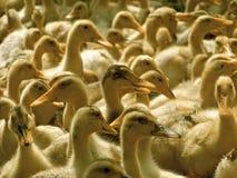 Muchos patos domésticos Imagen de archivo