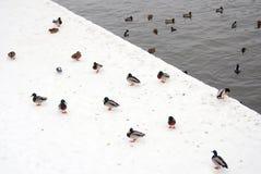 Muchos patos en el fondo blanco de la nieve por el agua Imagen de archivo