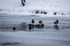 Muchos patos están buscando la comida en el agua en invierno río congelado, una época del hambre para los animales nieve e hielo  fotografía de archivo