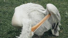 Muchos pelícanos rizados en un parque zoológico en recinto almacen de video