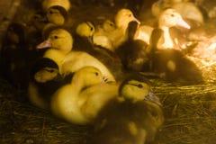 Muchos pequeños anadones nacionales en la yarda de las aves de corral caminan en la hierba en la granja economía foto de archivo