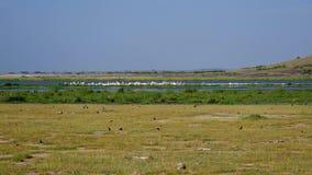 Muchos pequeños pájaros están volando aleatoriamente cerca de la orilla de un lago en África almacen de video