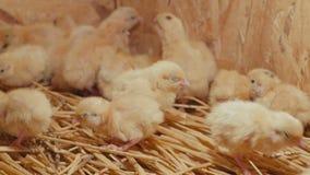 Muchos pequeños polluelos amarillos de las codornices en una jaula almacen de video