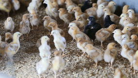 Muchos pequeños polluelos multicolores almacen de video