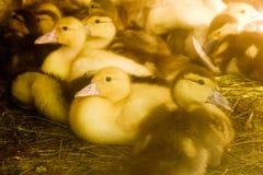 Muchos peque?os anadones nacionales en la yarda de las aves de corral caminan en la hierba en la granja econom?a fotos de archivo