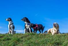 Muchos perros Foto de archivo