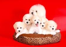 Muchos perros de la raza Bichon Frise que presenta en estudio en fondo rojo Cuatro perritos hermosos y madre que se sientan en el fotografía de archivo