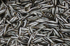 Muchos pescados Imagen de archivo libre de regalías