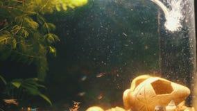 Muchos pescados coloridos hermosos con las colas largas de la gasa y multa en el acuario casero almacen de video