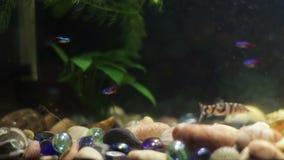 Muchos pescados coloridos hermosos con las colas largas de la gasa y multa en el acuario casero almacen de metraje de vídeo