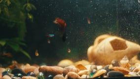 Muchos pescados coloridos hermosos con las colas largas de la gasa y multa en el acuario casero metrajes