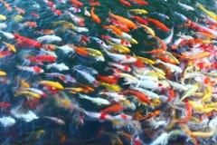 Muchos pescados de Koi Foto de archivo libre de regalías