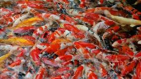 Muchos pescados de la mierda de la suposición que nadan y que esperan la comida en el agua almacen de video