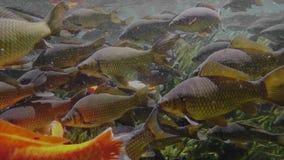 Muchos pescados en el agua dulce almacen de video