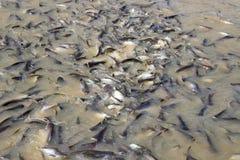 Muchos pescados en el río comen la comida Fotos de archivo