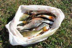 Muchos pescados recién pescados del río en una bolsa de plástico están mintiendo en la tierra en la hierba bajo luz del sol Pesca fotografía de archivo libre de regalías