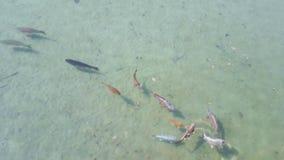 Muchos pescados vivos de la carpa que nadan en el agua clara transparente del lago Escena del submarino de la charca, vida salvaj metrajes