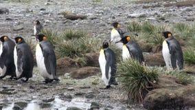 Muchos pingüinos de rey en el océano costean en Falkland Islands en la Antártida almacen de metraje de vídeo