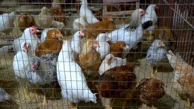 Muchos pollos jovenes en jaula almacen de metraje de vídeo