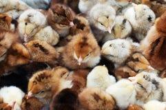 Muchos pollos recién nacidos coloreados Fotos de archivo libres de regalías