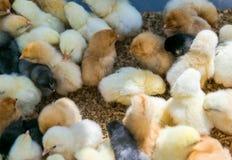 Muchos polluelos recién nacidos aislados en un fondo blanco de diversos colores Imagen de archivo libre de regalías